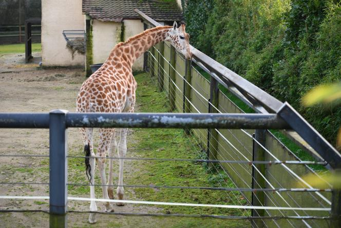 A giraffe in its enclosure at the Pont-Scorff zoo, in Brittany, in December 2019.