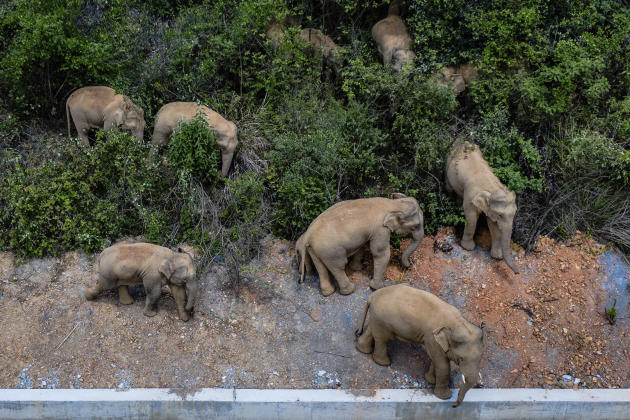 The herd of Asian elephants pictured in Eshan County, China on May 28, 2021.