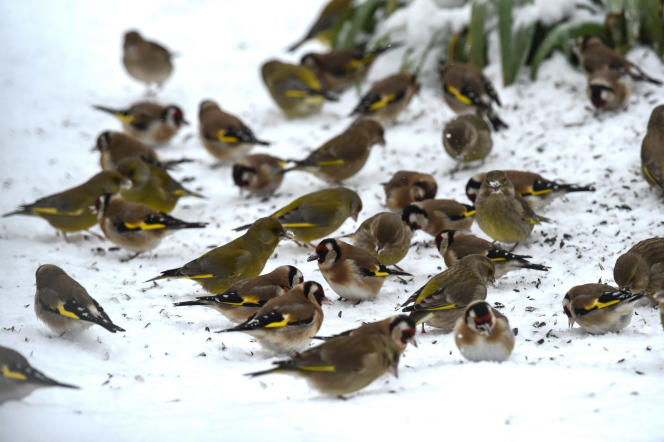 Goldfinches and greenfinches feed on seeds in a snowy garden in Illiers-Combray (Eure-et-Loir), February 10, 2021.