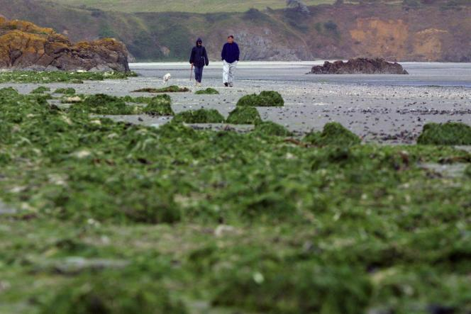 Largely due to agricultural spraying, green algae have proliferated in Breton bays for over thirty years.